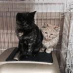Siyah ve Sarman kedi yavruları